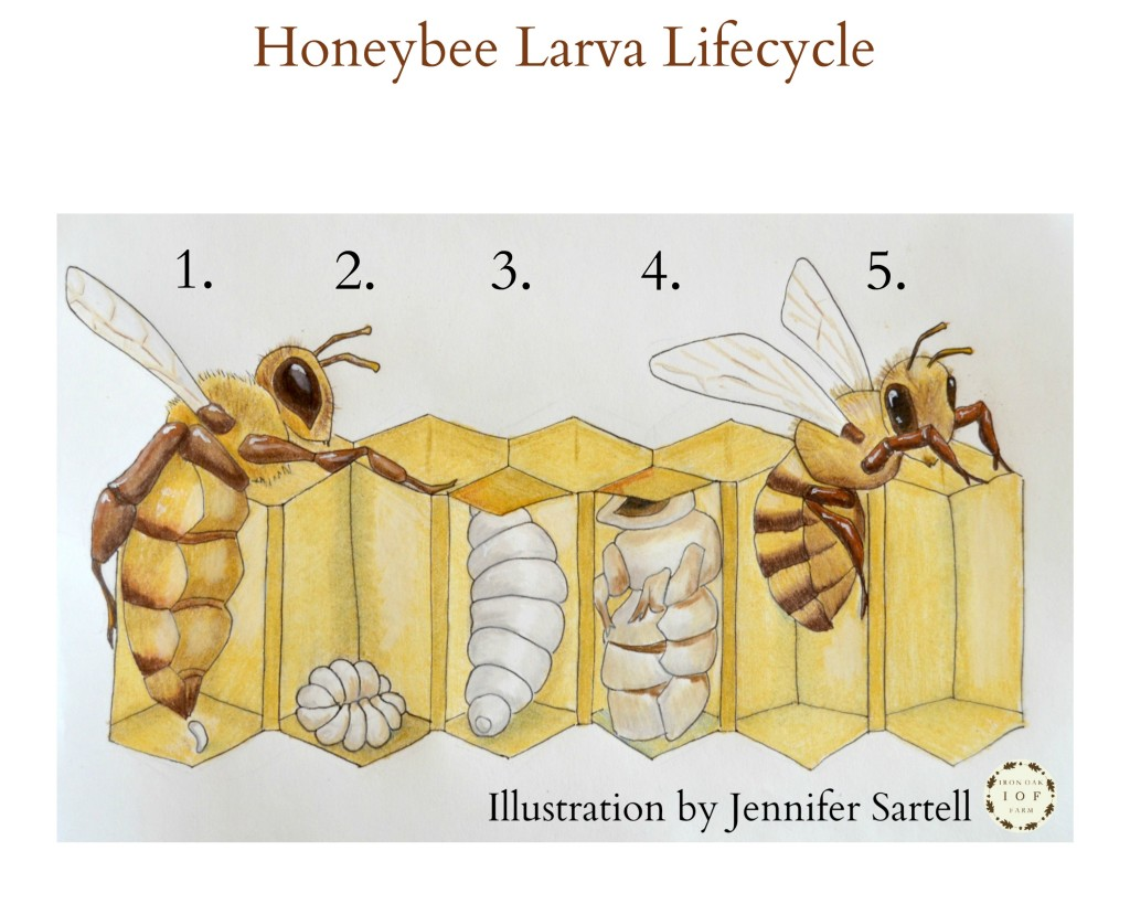 Honeybee Larva Lifecycle