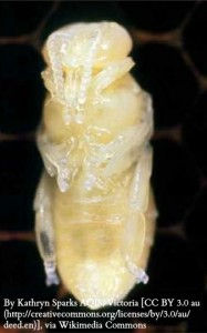 WM Bee Pupa