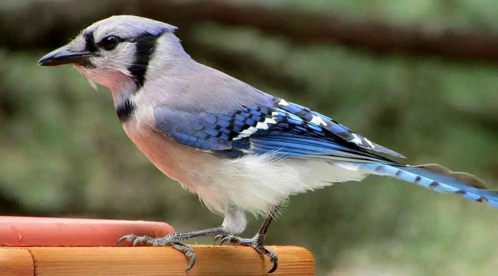 blue jay bird cyanocitta