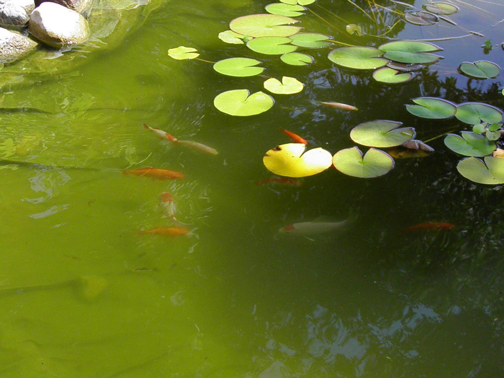 Limestone Causes Green Water in Ponds  Backyard Blessings