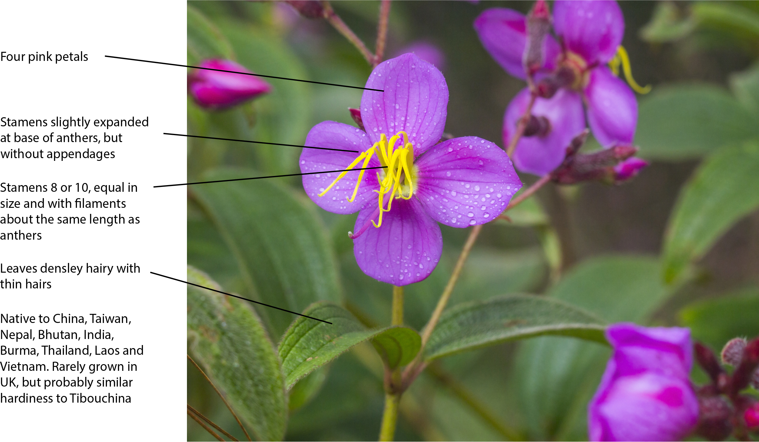 Key features/characters for identifying Osbeckia stellata plants.