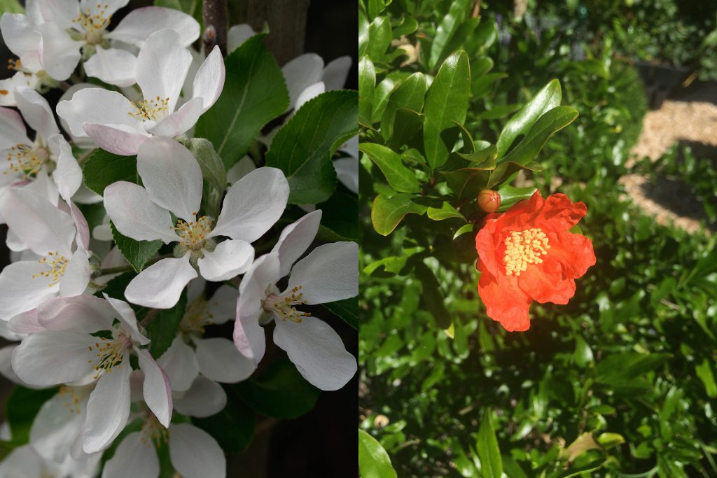 Blossom on an apple (left) and pomegranate (right).
