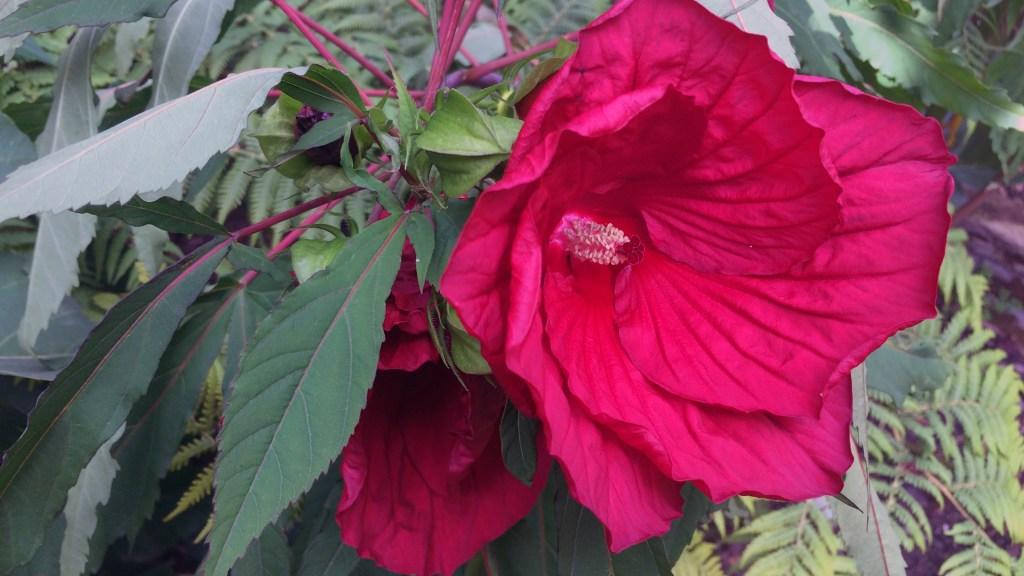 Hibiscus x moscheutos 'Fireball'.