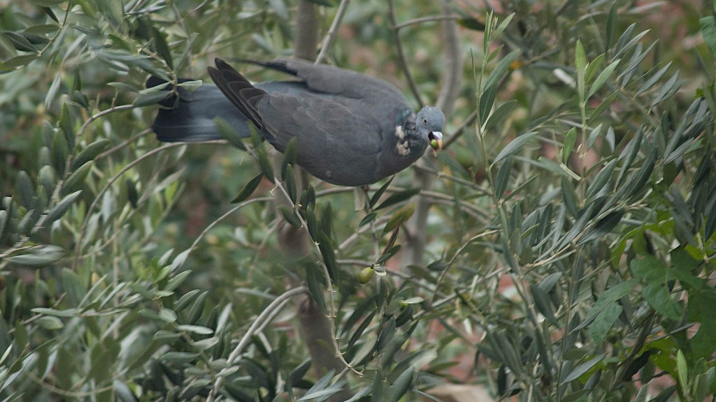A wood pigeon feasting on the olive tree.