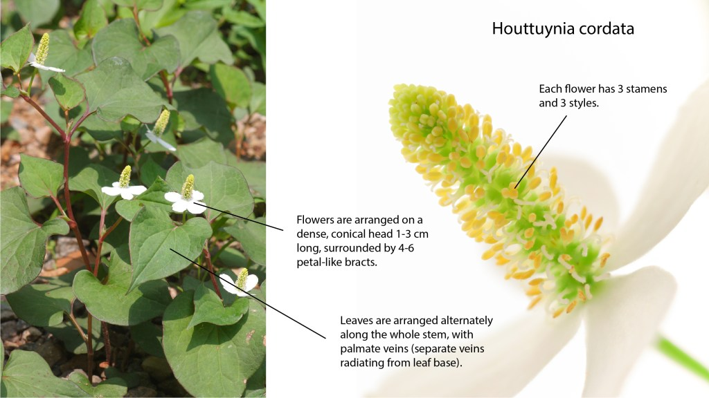 The main characters/features for identifying Houttuynia cordata plants