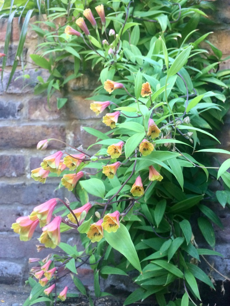 Bomarea edulis tumbling over the wall of a raised bed in our garden.