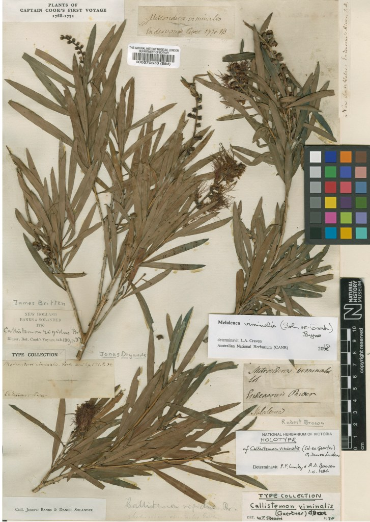 The original specimen of Callistemon viminalis collected by Banks and Solander at Endeavour River in 1770.© The Trustees of the Natural History Museum, London.