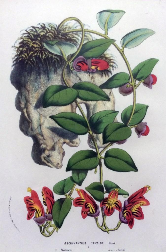 Aeschynanthus tricolor