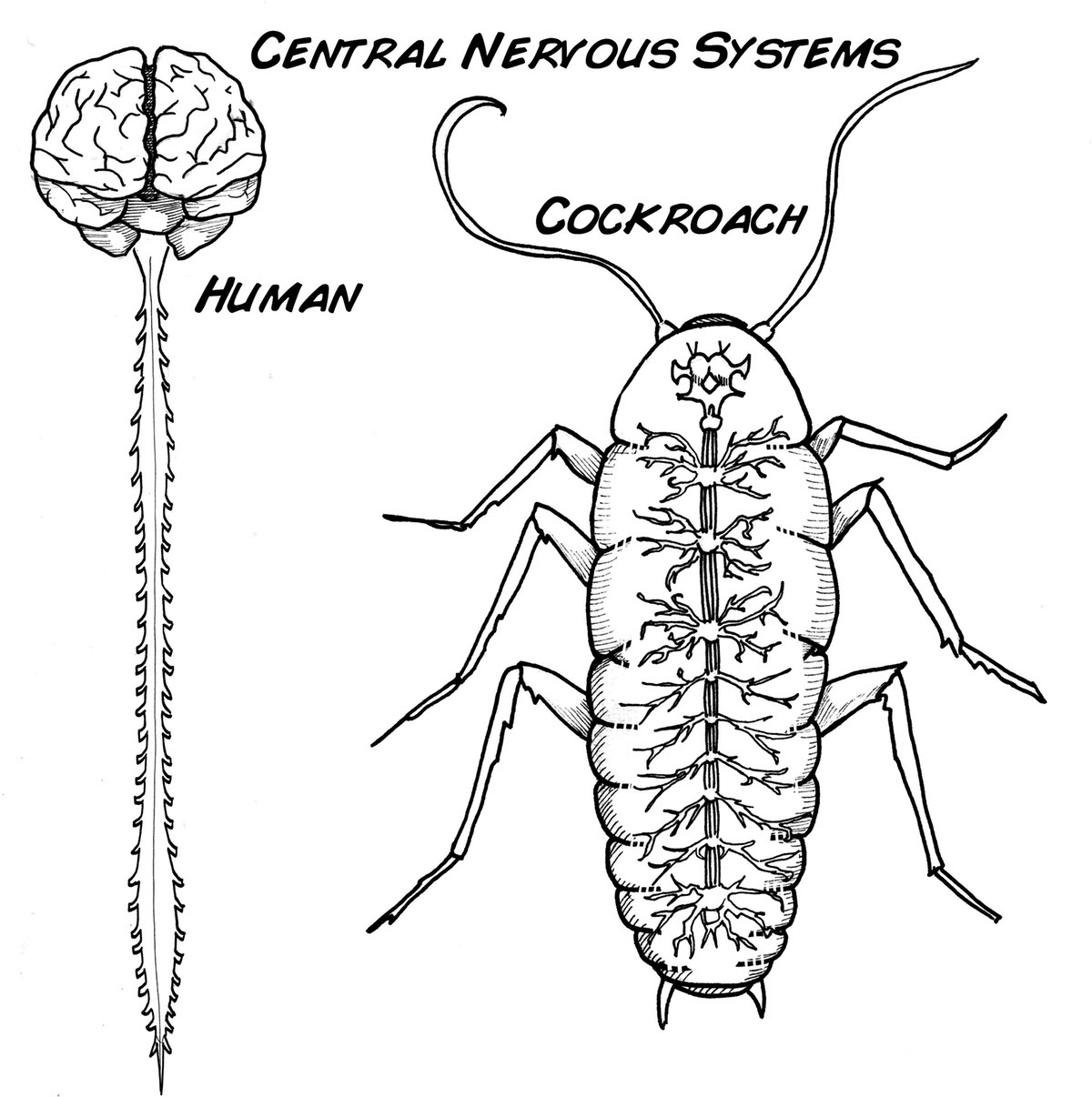 Experiment Wirelessly Control A Cyborg Cockroach
