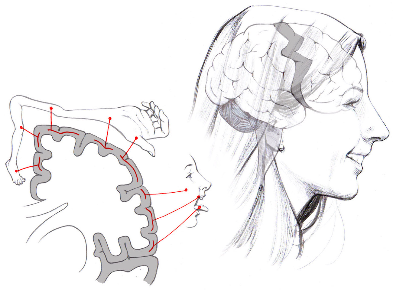 hight resolution of particular brain areas control specific body parts when you decide to chew your food the mouth area of the motor cortex in your brain is activated