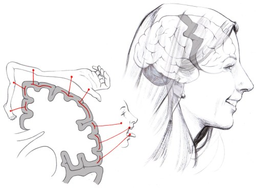 small resolution of particular brain areas control specific body parts when you decide to chew your food the mouth area of the motor cortex in your brain is activated