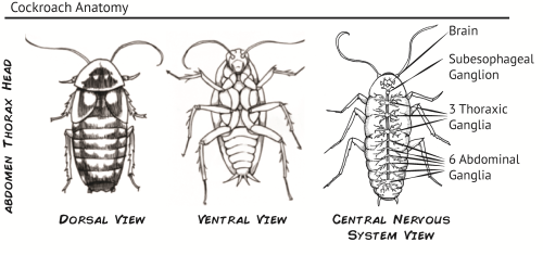 small resolution of cockroach anatomy pictures