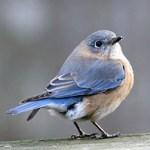 EasternFemaleBluebird