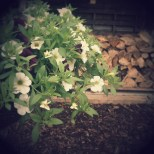 Hanging basket in front of wood store 1