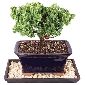 "Brussel's Live Green Mound Juniper Outdoor Bonsai Tree - 4 Years Old; 6"" to 8"" Tall with Decorative Container, Humidity Tray & Deco Rock"