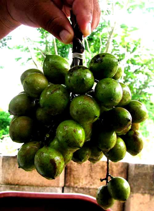 Guaya Melicoccus Bijugatus