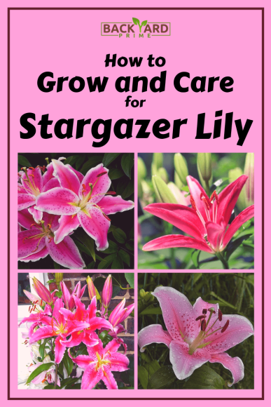 How to Grow and Care for Stargazer Lily 6