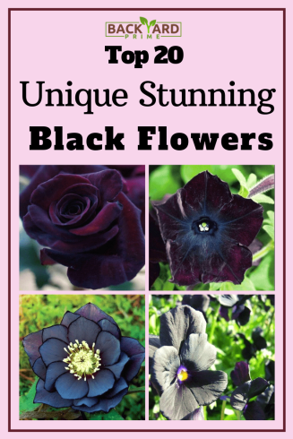 Top 20 Unique Stunning Black Flowers for your Backyard 21