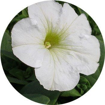 20 Most Breathtaking White Flowers in The World 4
