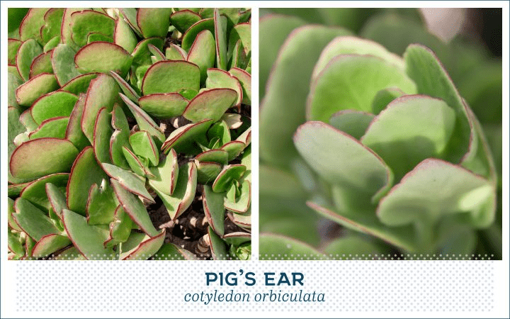 21 Types of Succulents for a Breathtaking Succulent Garden 16
