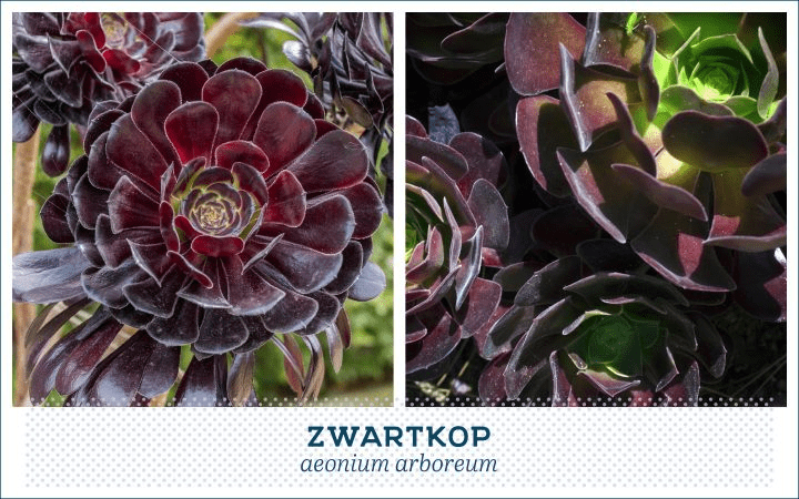 21 Types of Succulents for a Breathtaking Succulent Garden 19