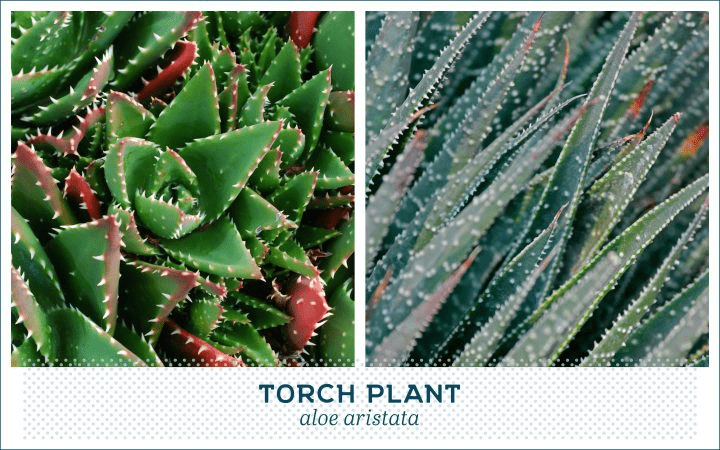21 Types of Succulents for a Breathtaking Succulent Garden 20