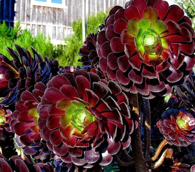 Top 20 Unique Stunning Black Flowers for your Backyard 4
