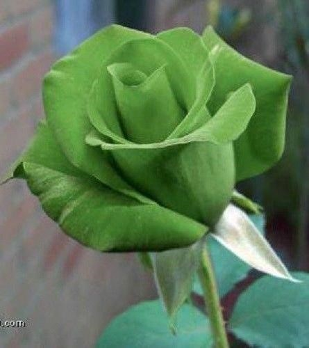 Breathtaking Naturally Green Flowers with Pictures 2
