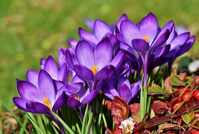 How to Grow and Care for Crocus Flower