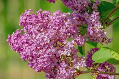 Your Guide to Growing & Caring for Lilac Bushes 10