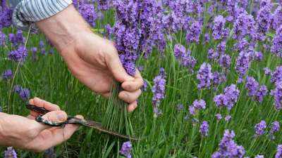 When & How to Prune Lavender?