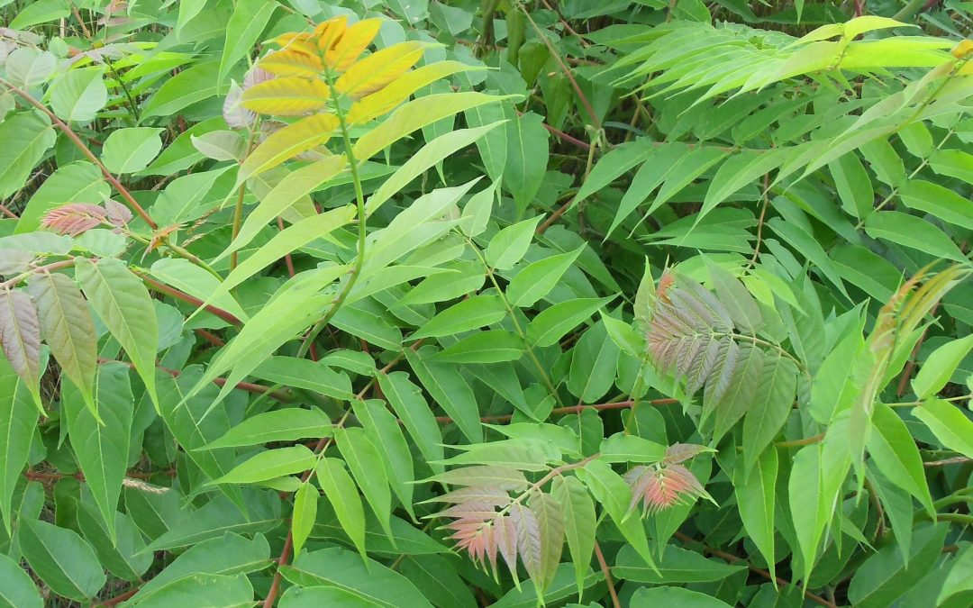 The Effective Way to Identify, Remove, and Treat Poison Sumac