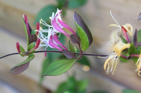 The Ultimate Guide to Growing Honeysuckle 2