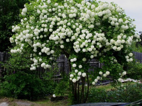 How to Grow & Care for Hydrangea Trees 1