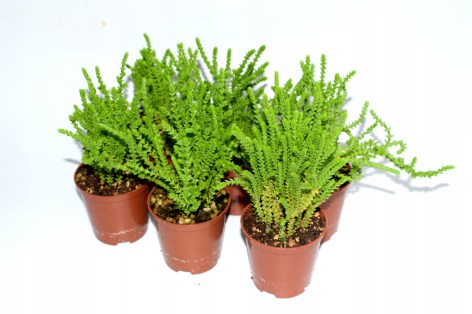 Clubmoss Crassula