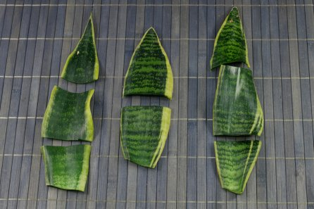 propagate snake plant by division