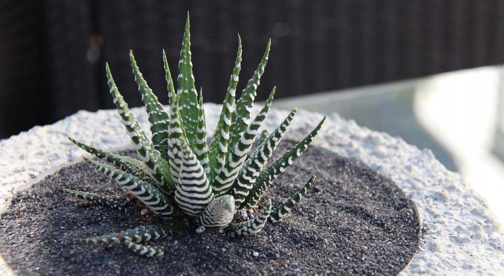Zebra Plant Succulent: Care & Growing Guide