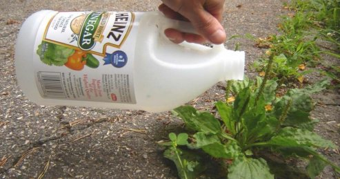 Get Rid of Thistle using vinegar