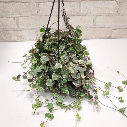 hanged indoor Rosary Plant