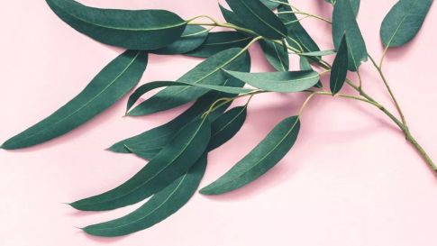 Growing Eucalyptus  from cuttings