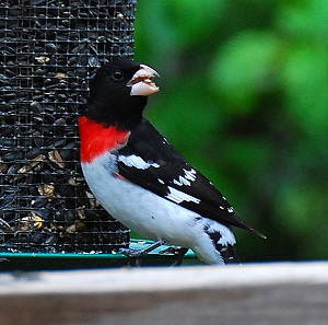 ROSE-BREASTED GROSBEAK (male)