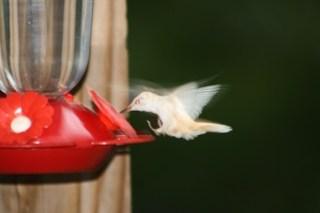 HUMMINGBIRD14