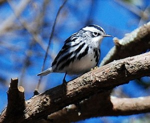 black-and-white-warbler-male