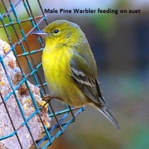 a-male-pine-warbler-feeding-on__-suet