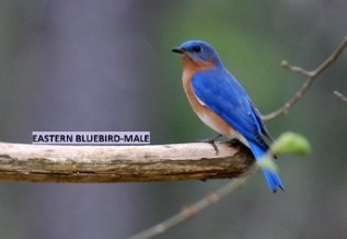 eastern-bluebird-male