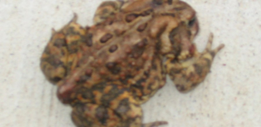 Strange Disease or Wound seen on American Toad (bufo americanus)
