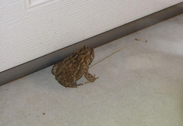Another Toad, with photos and measurements