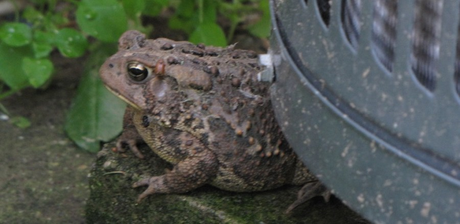 Toads in the yard