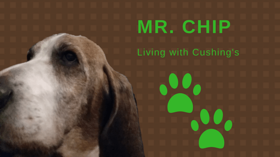 Mr. Chip - Living with Cushing's
