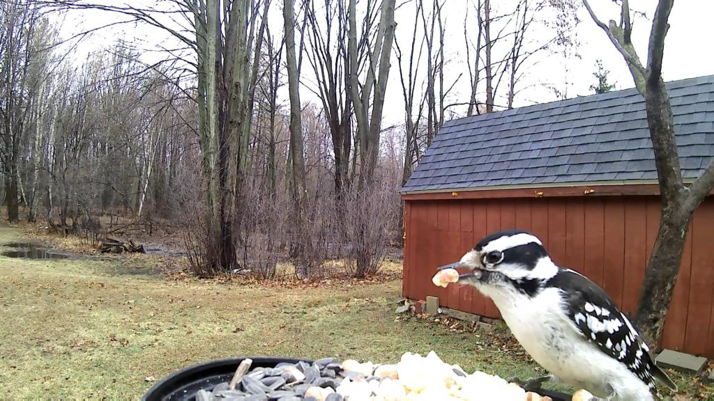 Downy Woodpecker with a nut